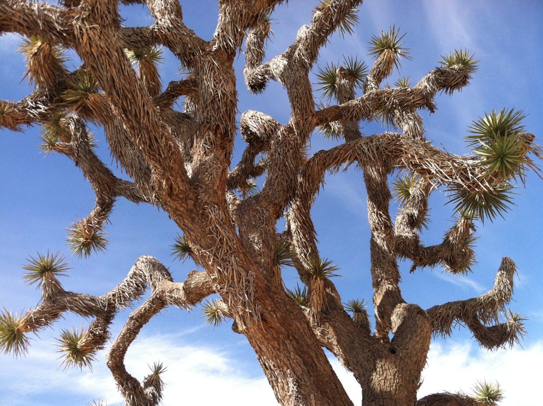 A Joshua tree against the sky